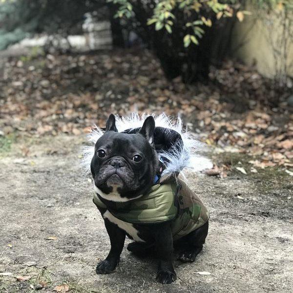 terepmintás kutyakabát francia bulldogoknak