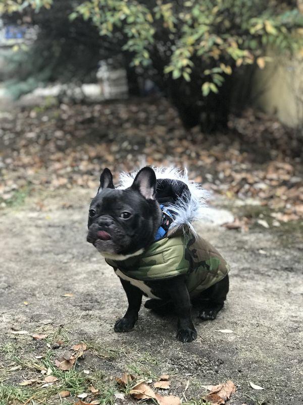 Terepmintás kutyakabát francia bulldogok részére (BKR110)
