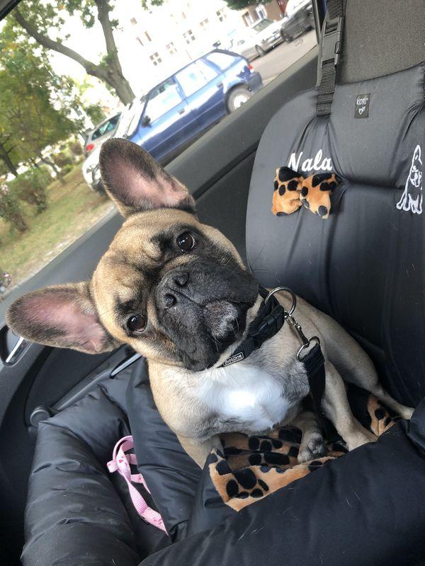 bulldogülés, kutyaülés autóba