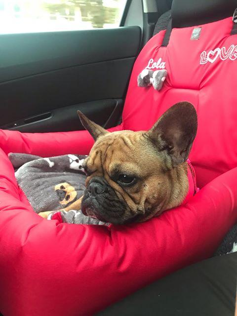 bulldog kutyaülés autóba